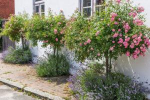 Rosenbäumchen In Rosa Vor Haus