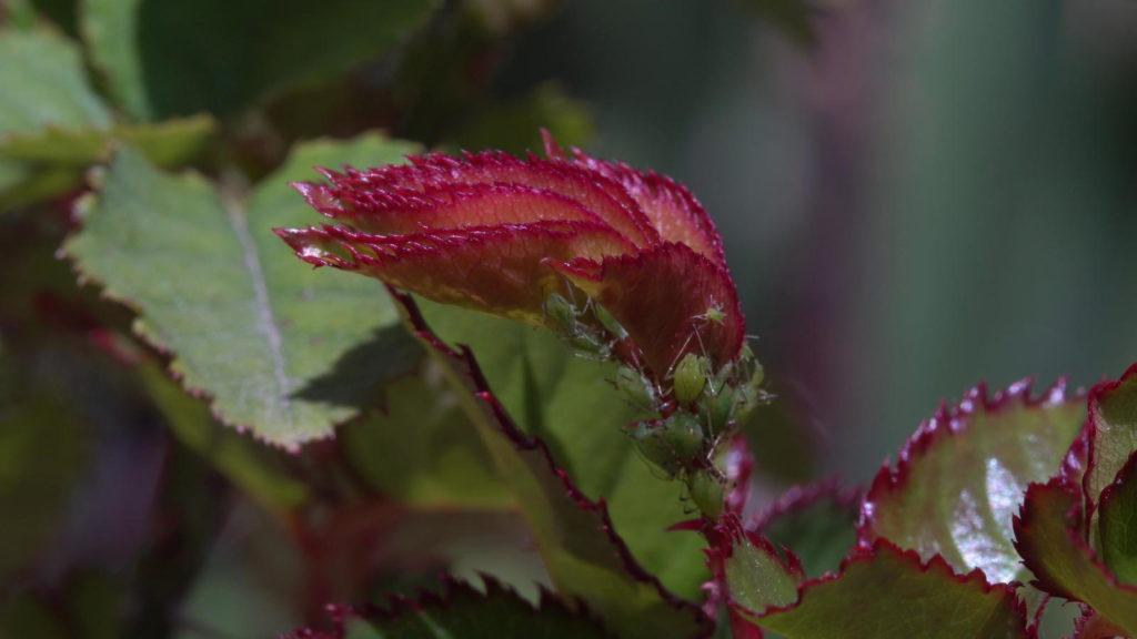 Rosenblätter in Nahaufnahme