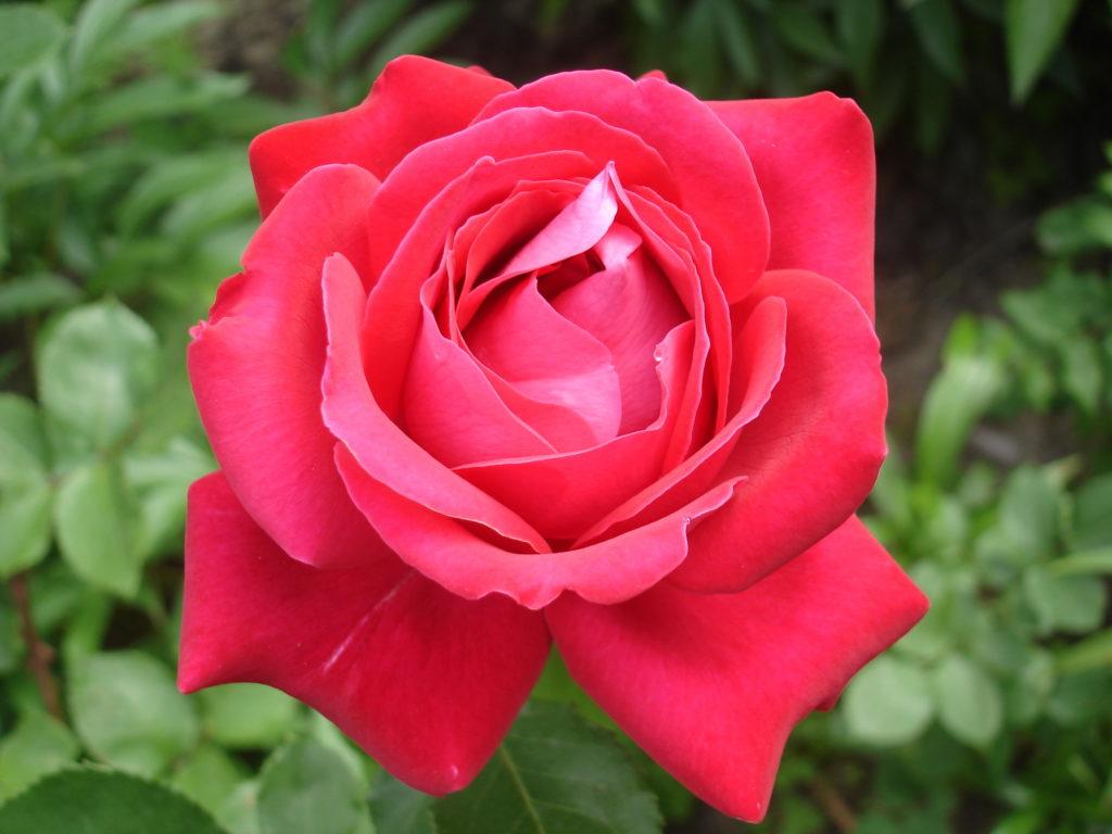 Rote Rose 'Duftwolke' nah