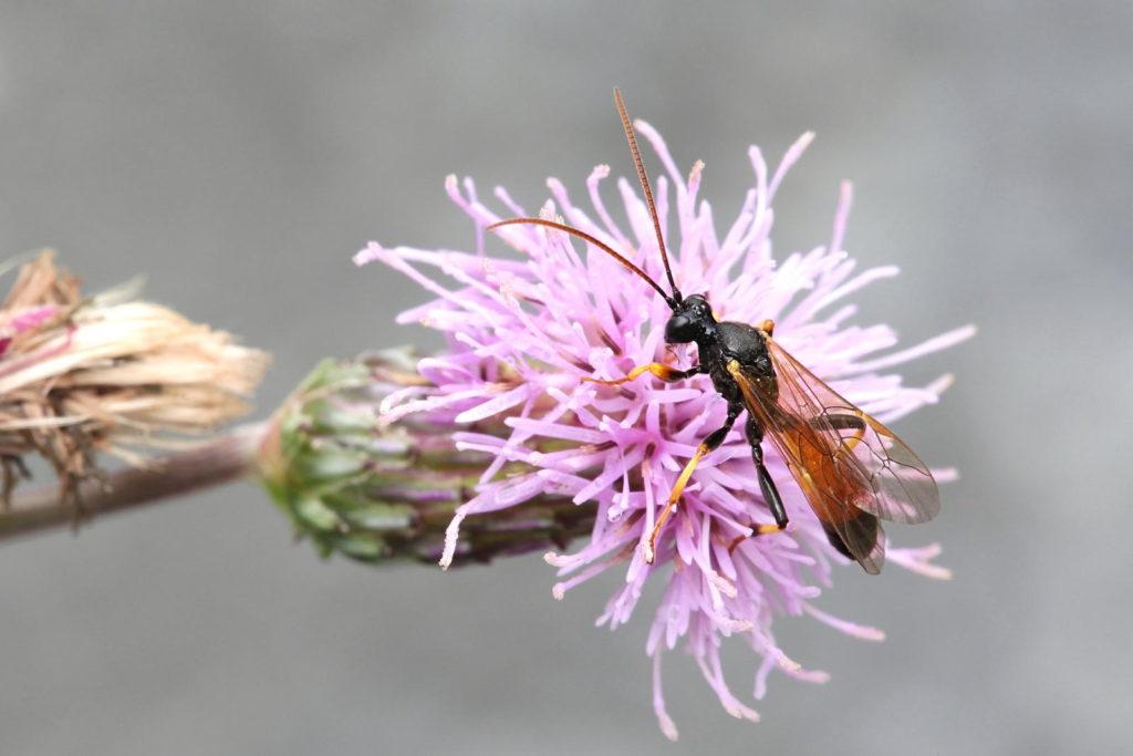 Schlupfwespe auf einer Blume