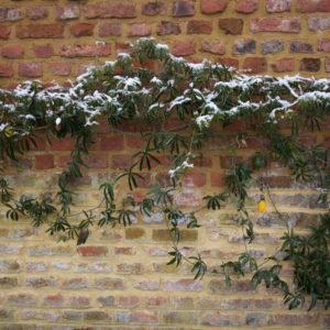 Passionsblumen An Der Wand