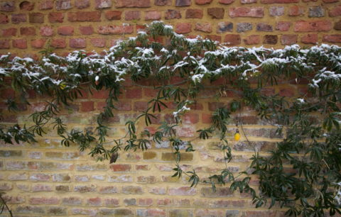 Winterharte Passionsblumen-Arten: Die 3 Kältetolerantesten