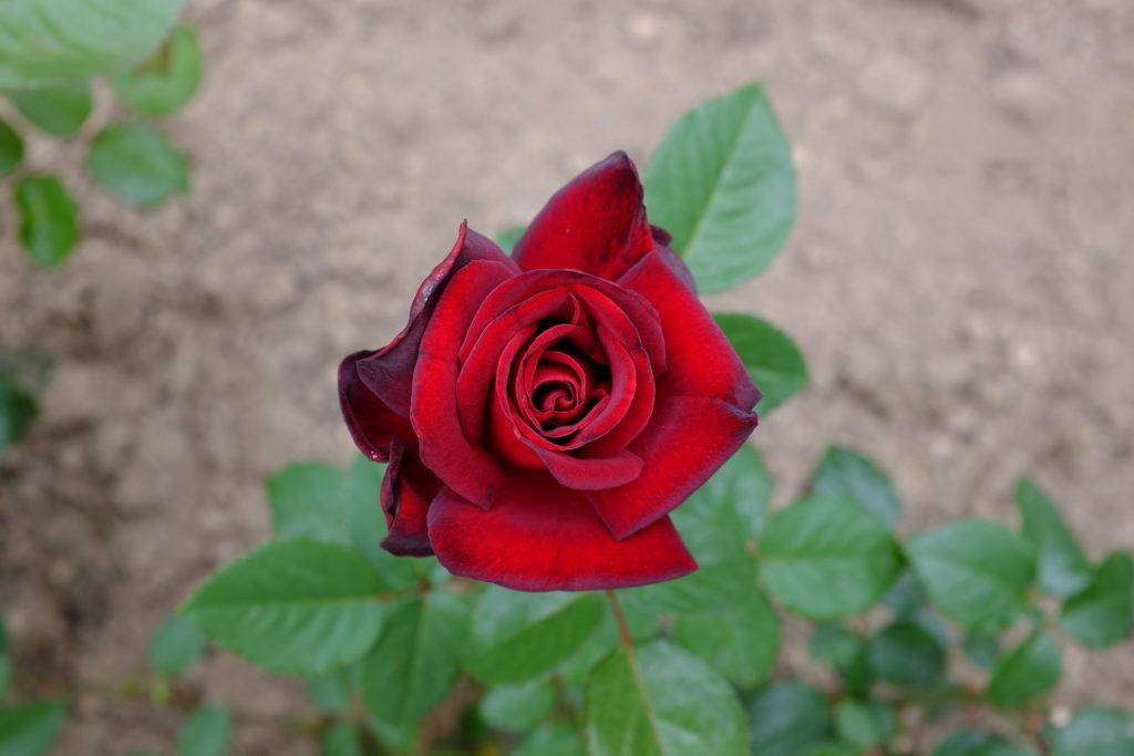 Rose Schwarze Madonna