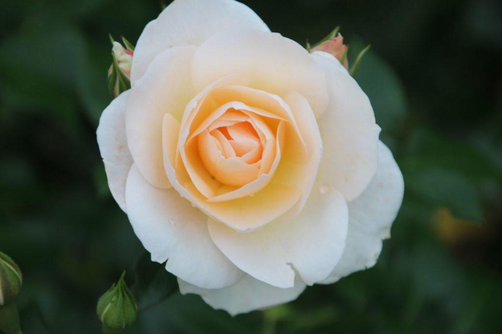 Rose Sirius