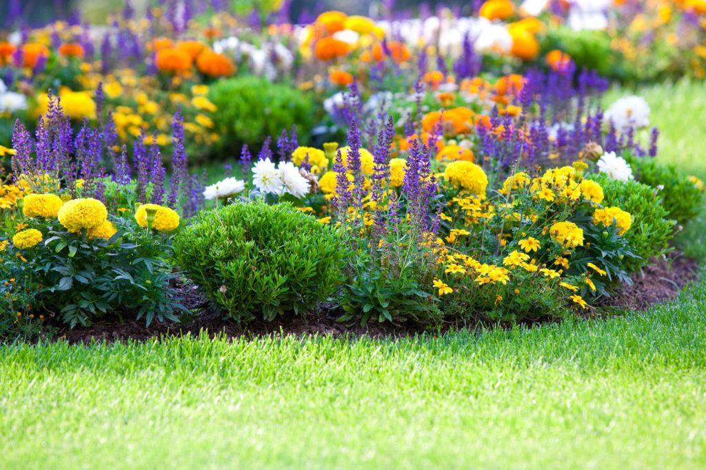 Tagetes, Ziersalbei und Chrysanthemen