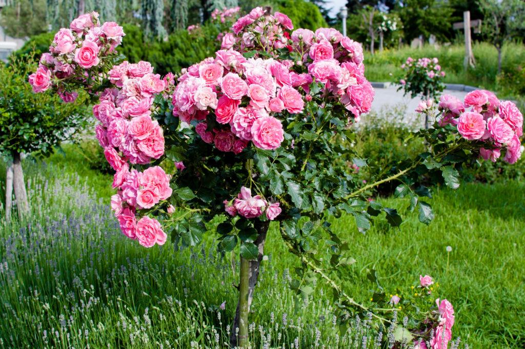 Stammrosen rosa als Bäumchen