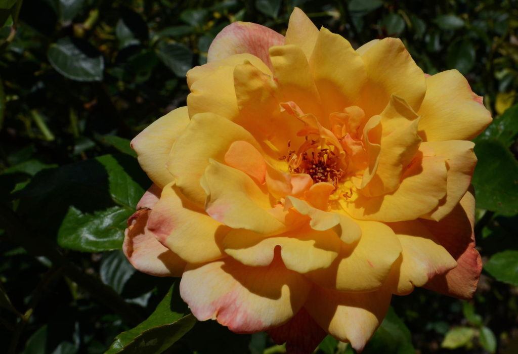 Gelbe Edelrose