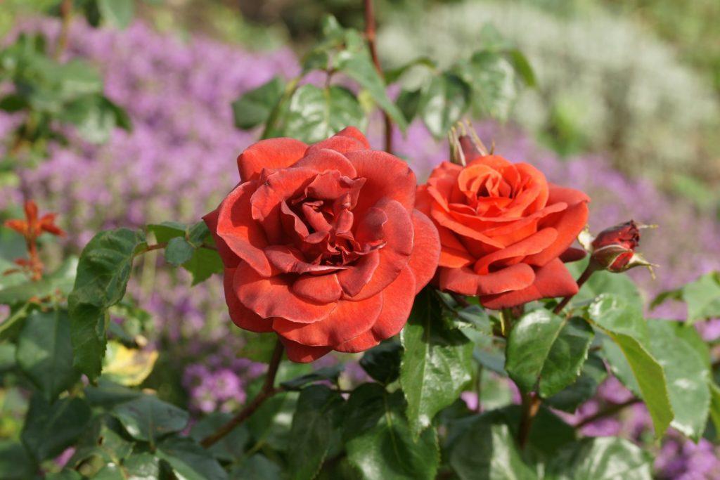 Rose Terracotta