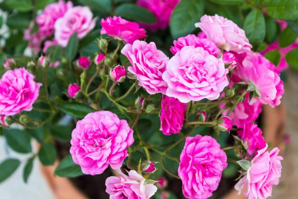 Rosa-weiße Rosen