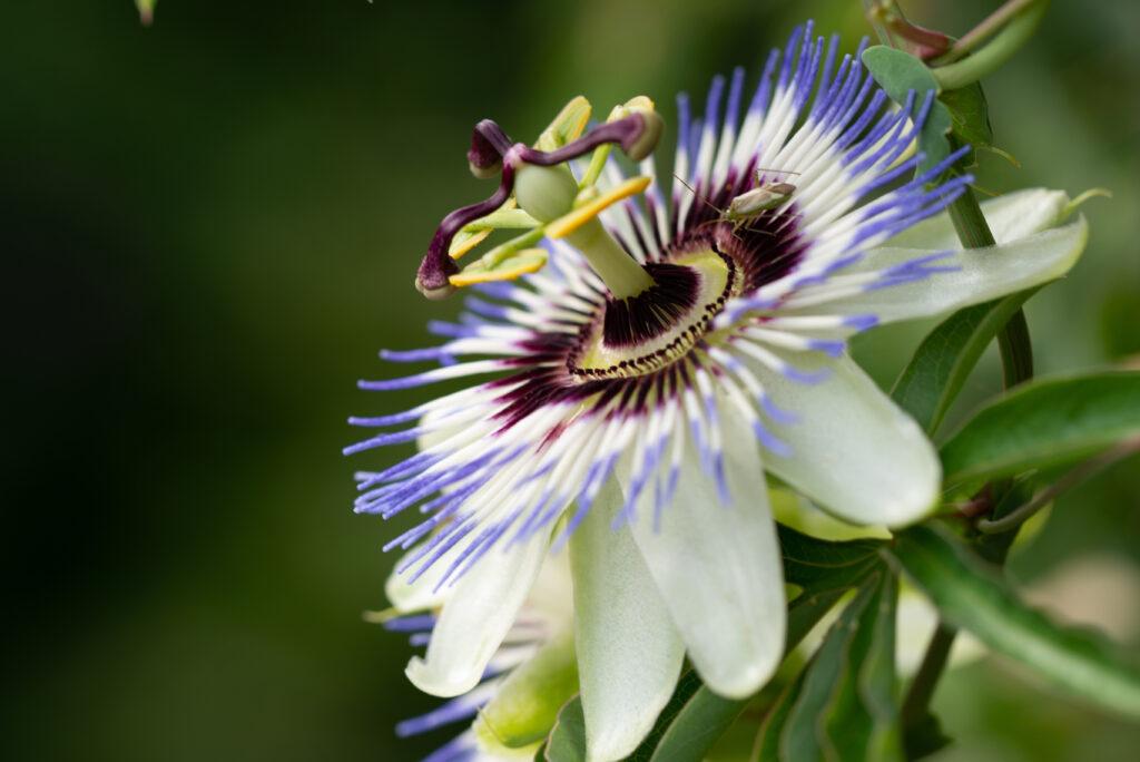 Weiße Passionsblume nah