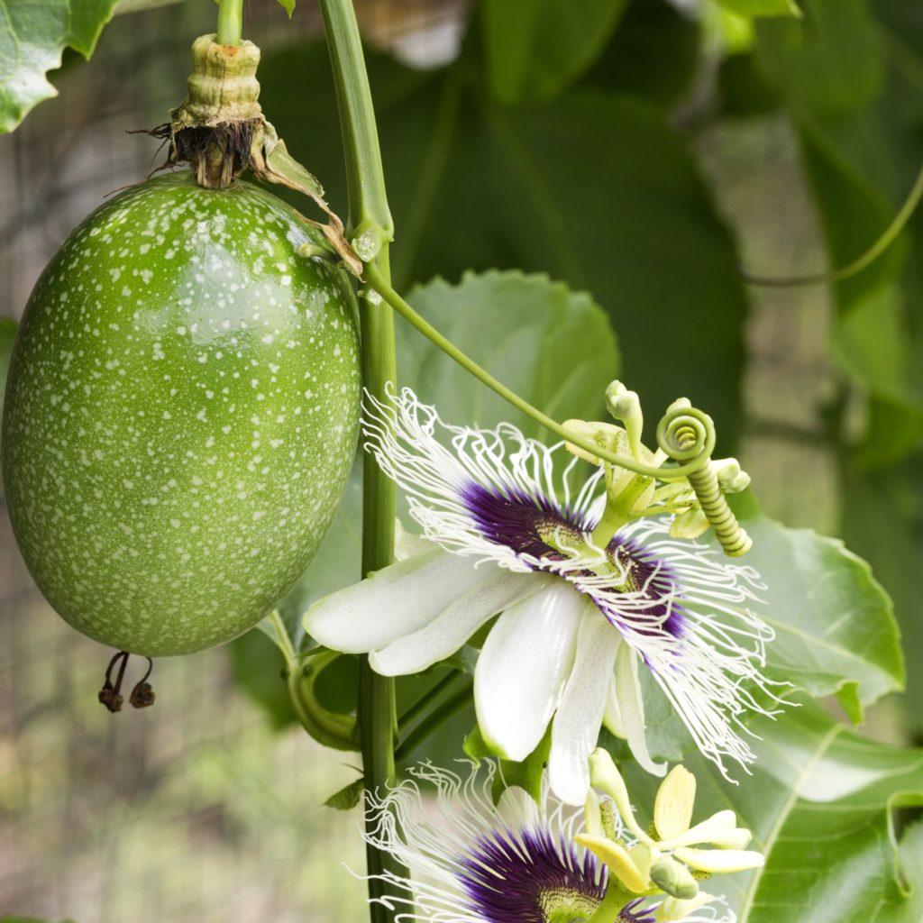 Weiße Passionsblume mit Frucht