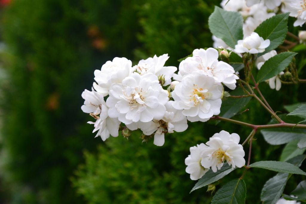 Weiße Rose 'Guirlande d'Amour' nah
