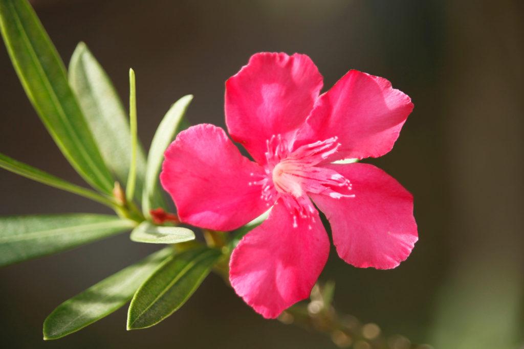 Wilder Oleander nah