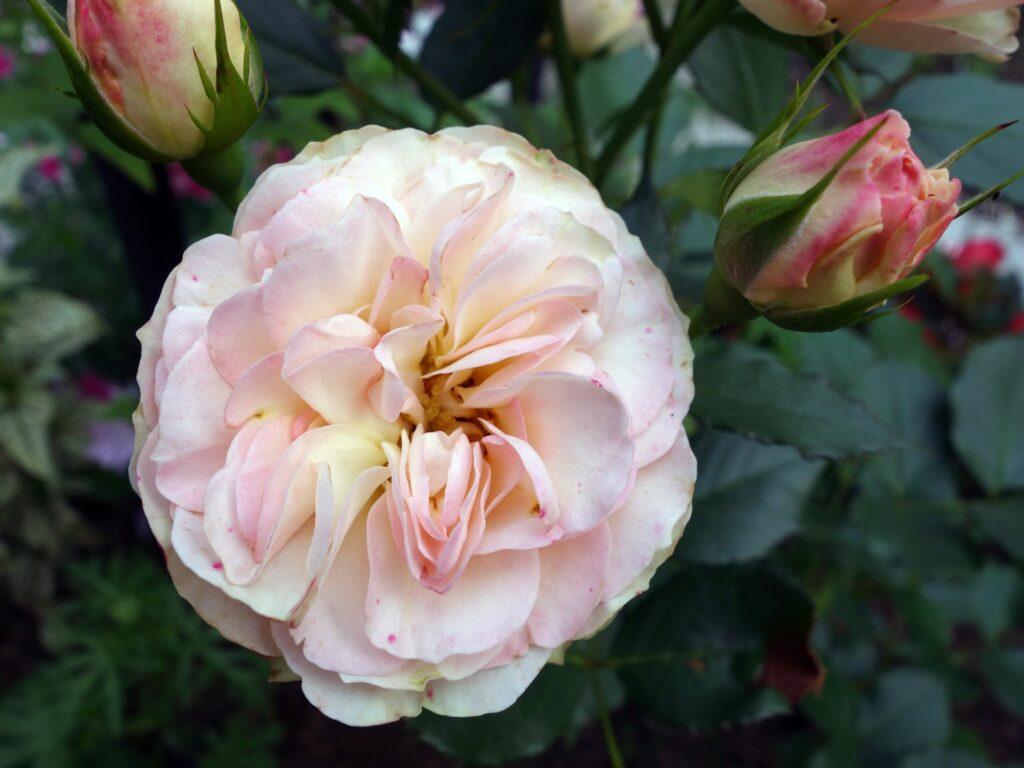 Englische Rose A Shropshire Lad