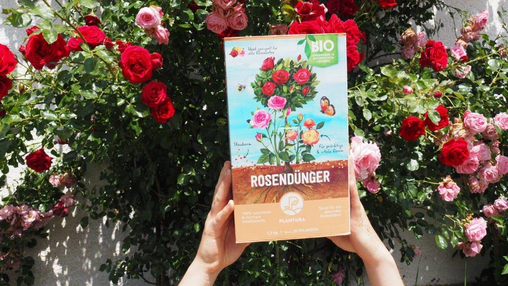 Kletterrosen hinter dem Plantura Bio-Rosendünger