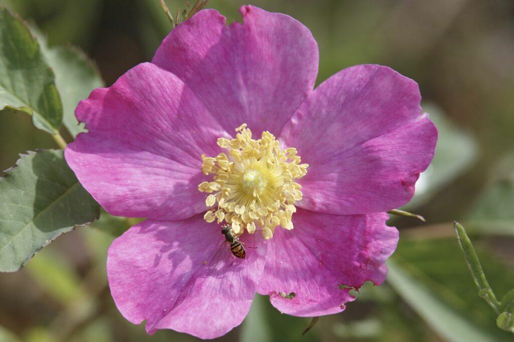 pinke Eschen-Rose