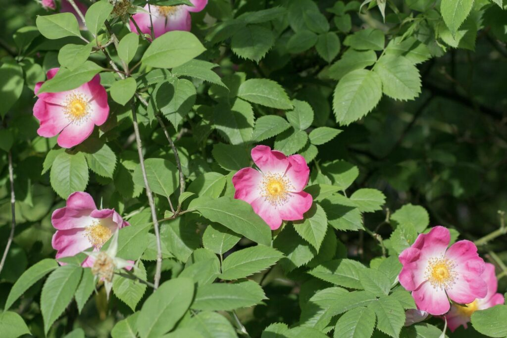rosa Essig-Rosen