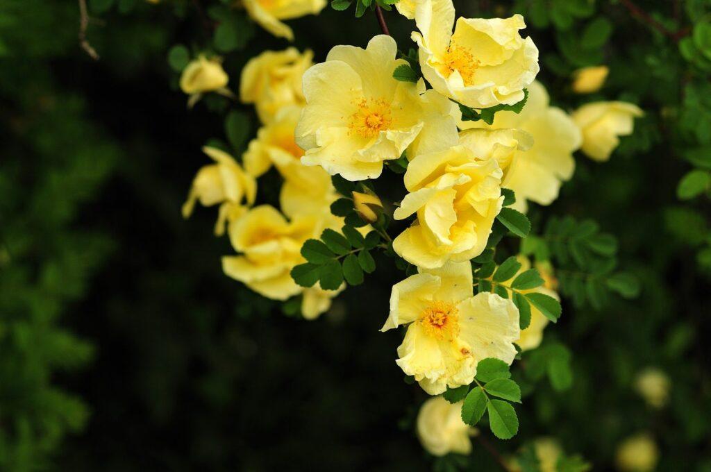 gelbe Wildrose Rosa hugonis