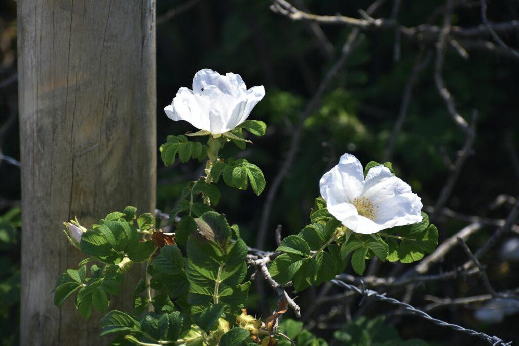 Kleinblütige Rose mit weißen Blüten