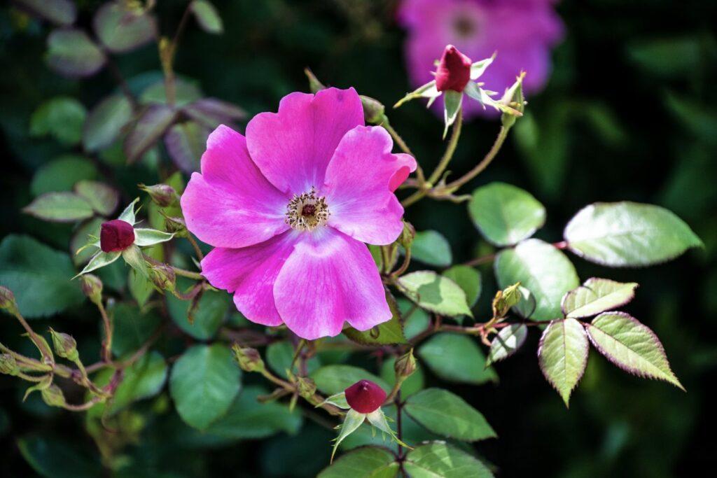 rosa Blüte der Glanz-Rose