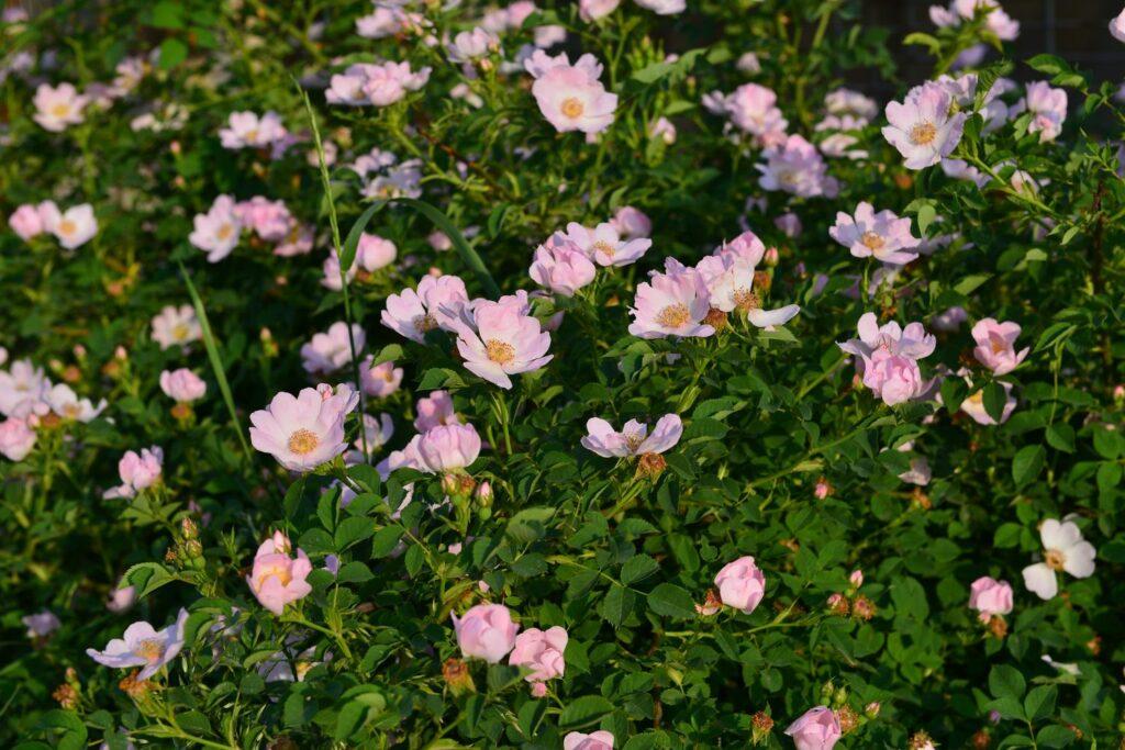 Weinrose mit kleinen rosa Blüten