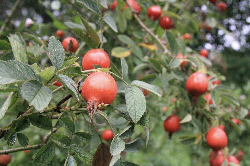 Apfelrose mit Hagebutten