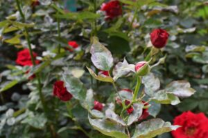 Kranke Rosenpflanze