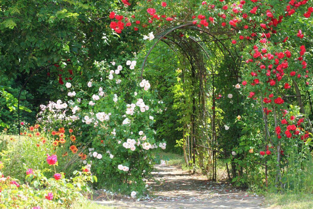 Rosenbogen mit roten Rosen im Garten