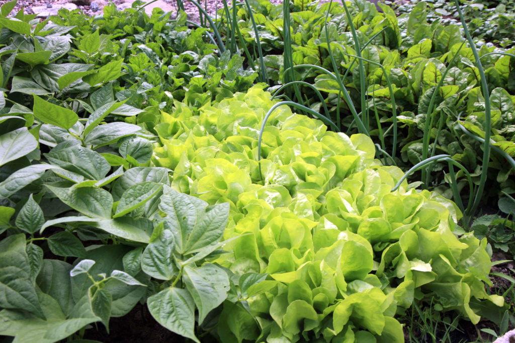 Beet mit Salat und Kräutern von oben