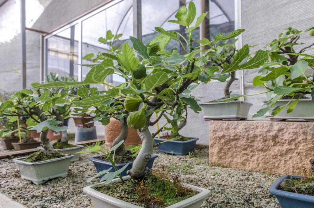 Feigenbaum Im Topf: Alles Zum Pflanzen & Pflegen Im Kübel