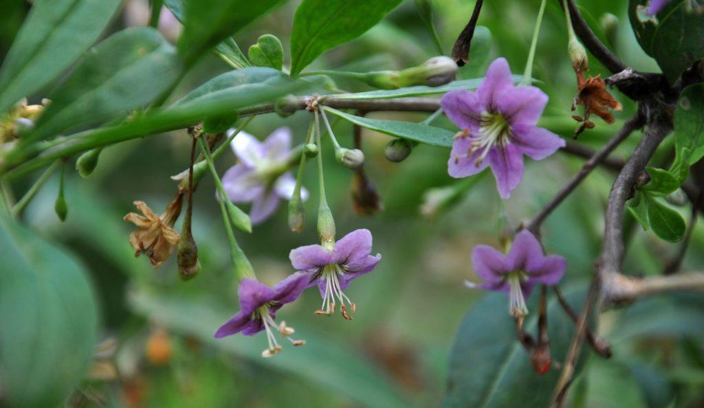 Goji-Beeren-Blüte