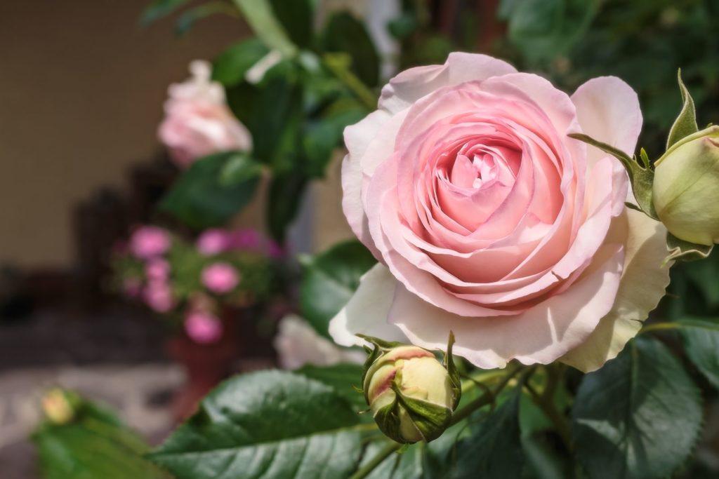 Rose Eden 85