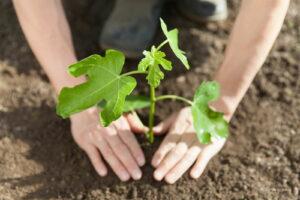 Junger Feigenbaum Wird Mit Händen In Erde Geplanzt