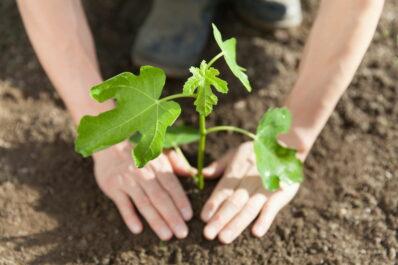 Feigenbaum pflanzen: Profi-Tipps zu Standort & Vorgehen
