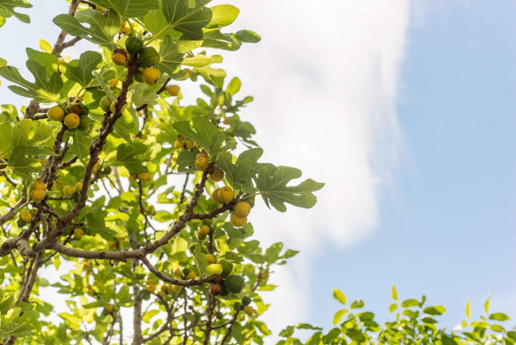Feigenbäume vor Himmel