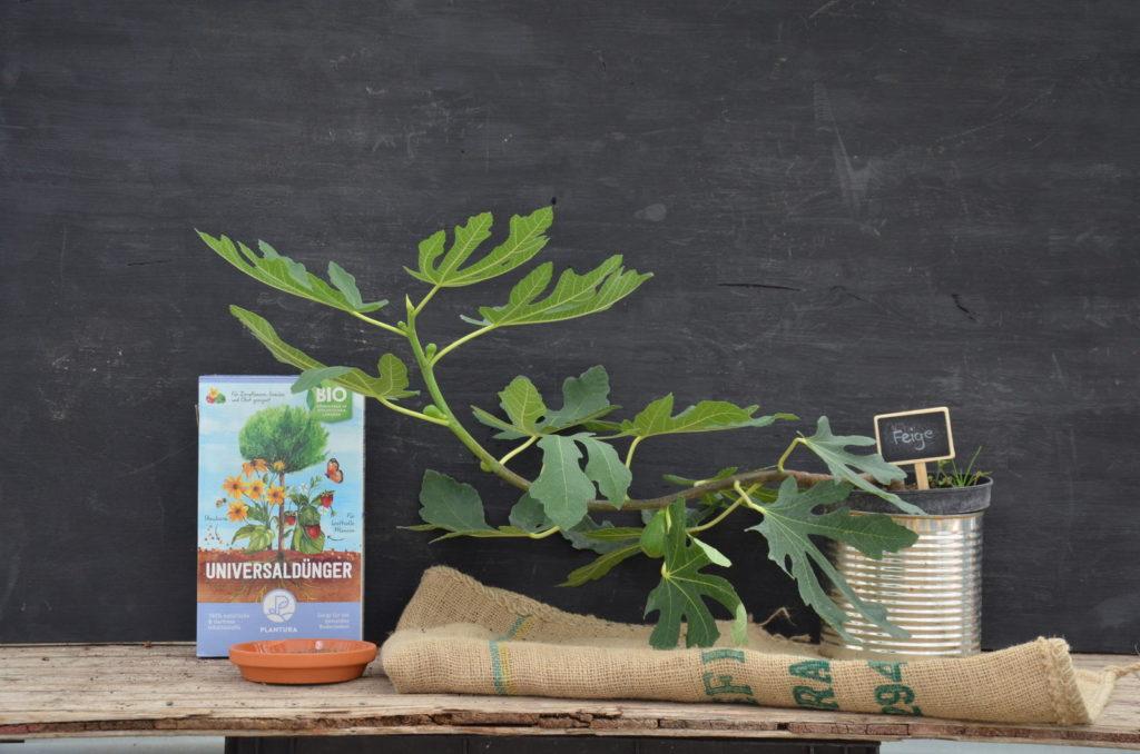 Feigenbaum in einem Topf mit Plantura Bio-Universaldünger Düngerbox
