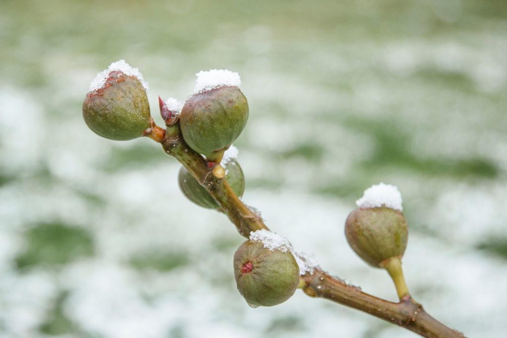 Feigen mit Frost