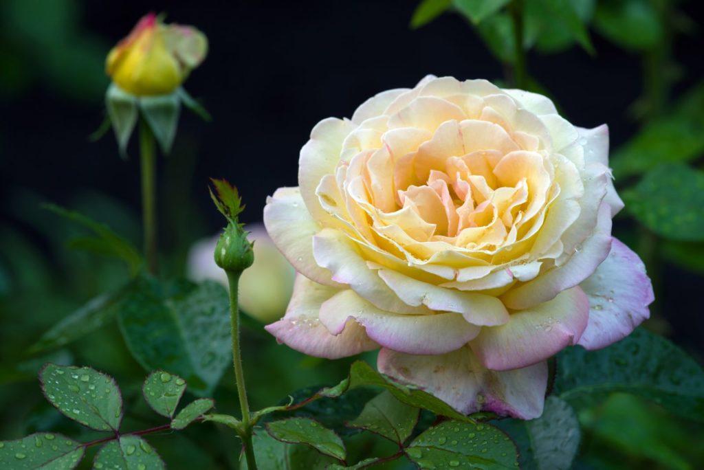 Rose Gloria Dei