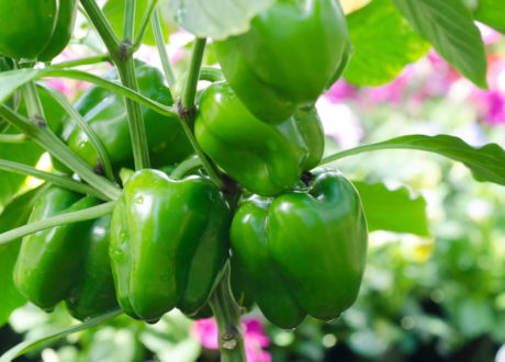 Grüne Paprikas Im Garten
