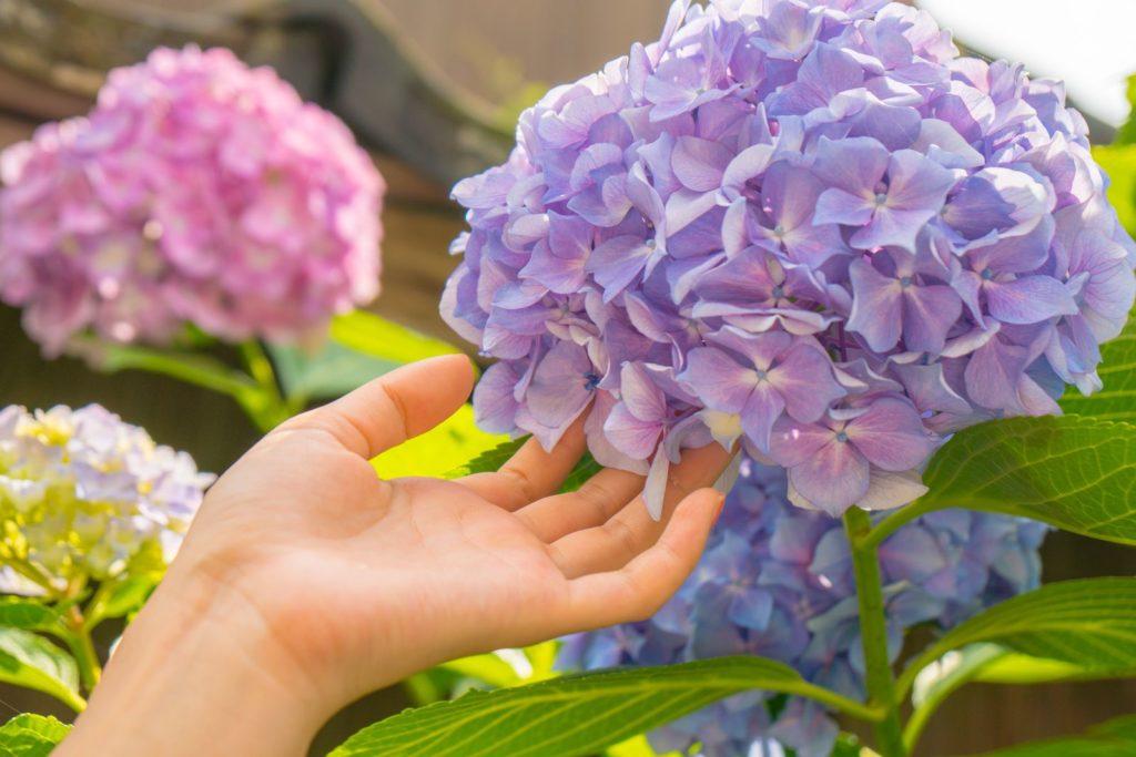 Hand mit Hortensie
