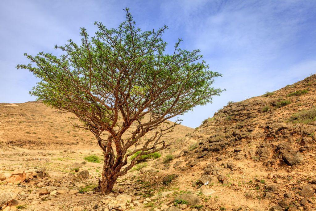 Weihrauch-Baum in der Wüste