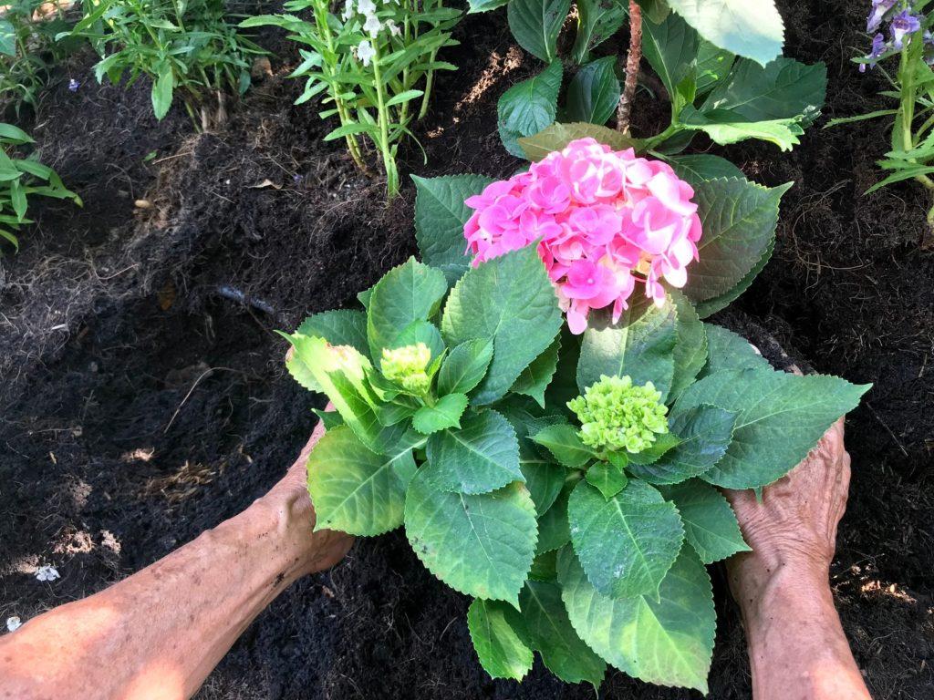 Hortensien werden eingepflanzt