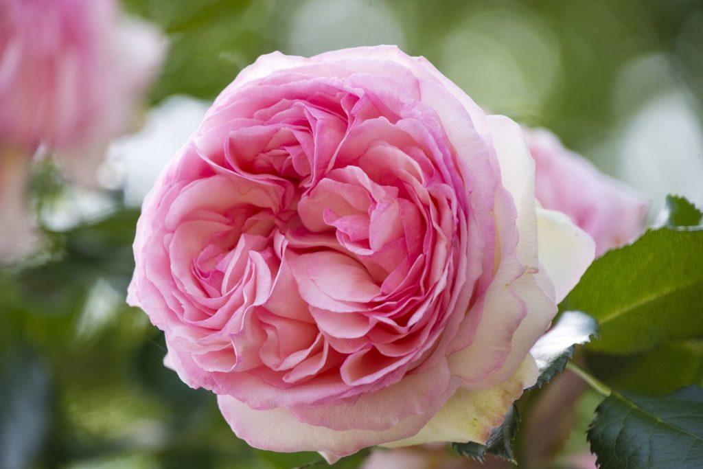 Rose Jasmina