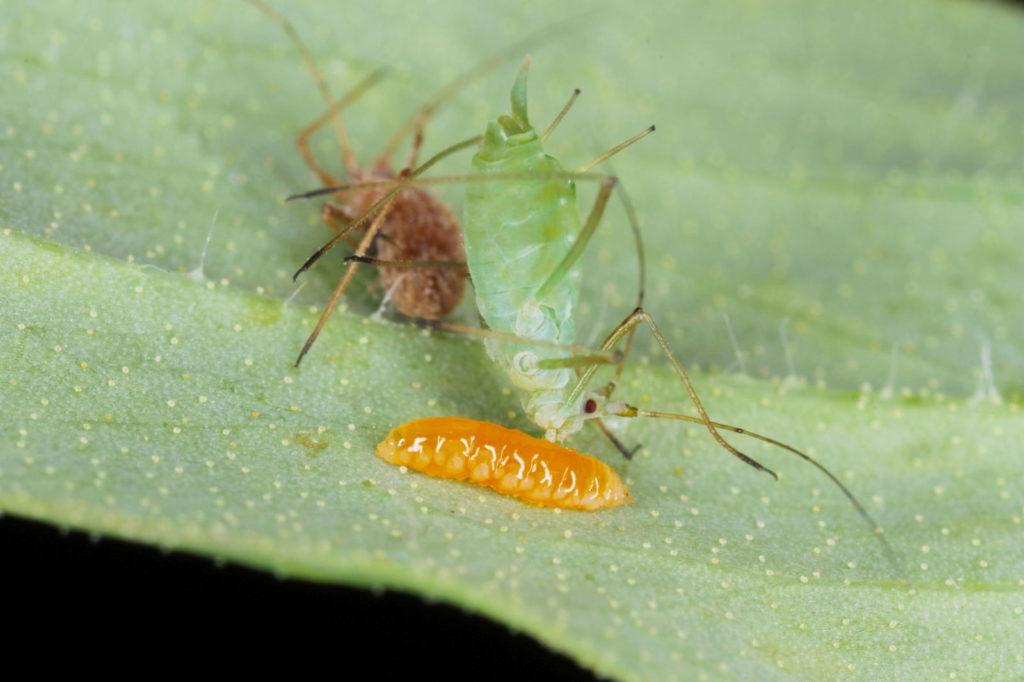 Gallmückenlarve gegen Blattläuse