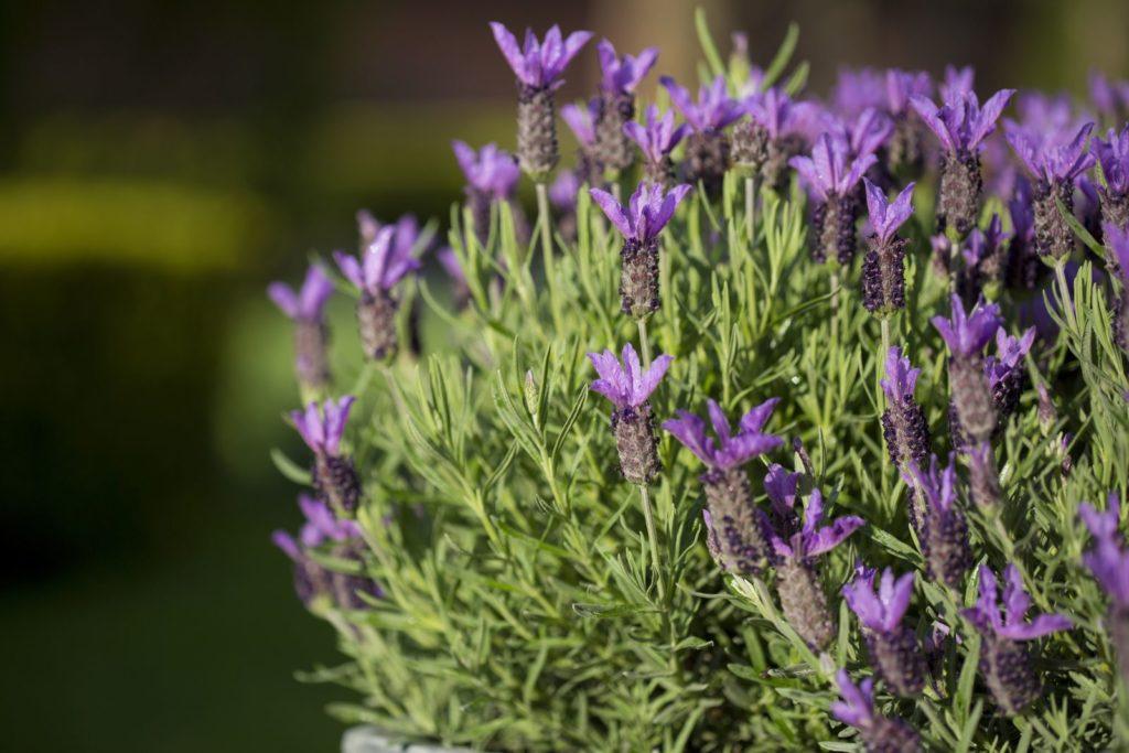 Lavendelstrauch im Garten