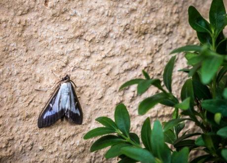 Buchsbaumzünsler Motte An Einer Wand