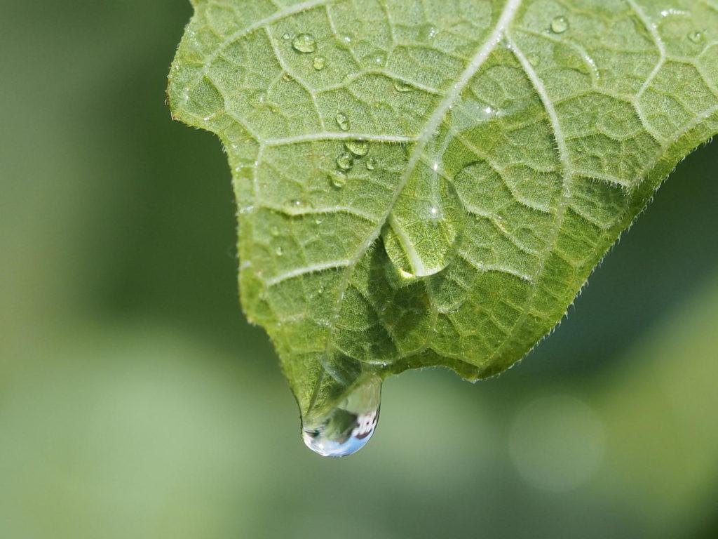 Feigenblatt und Wassertropfen