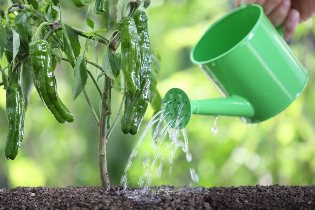 Pflanzenjauche in der Gießkanne