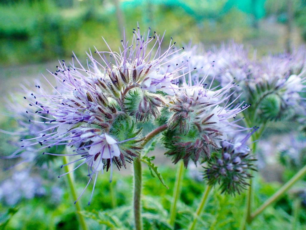 Phazelia-Pflanze mit lila Blüten