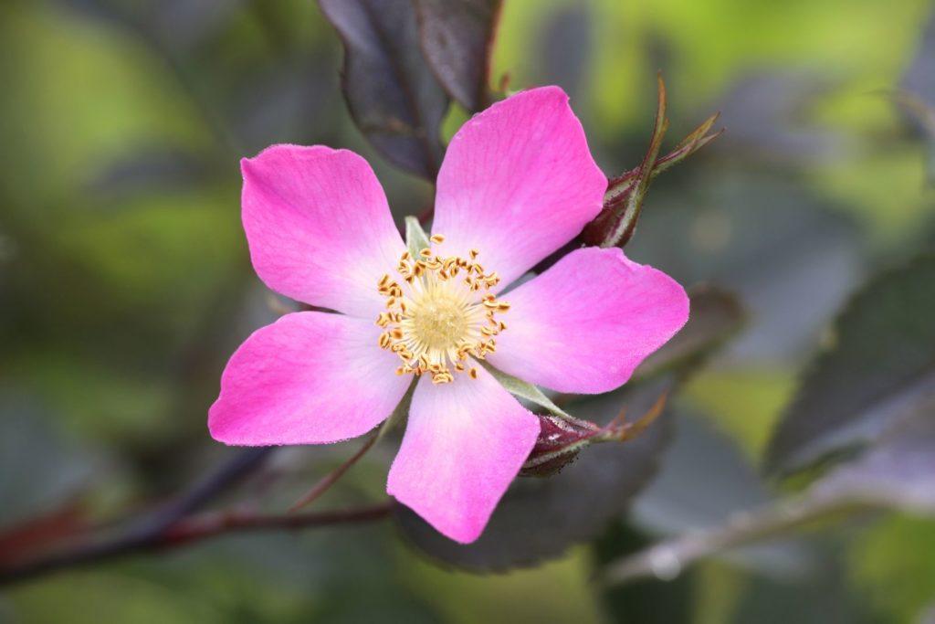 Wildrose Rosa glauca